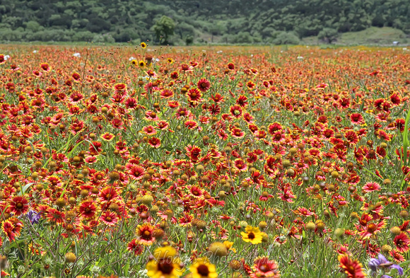 IMG_4306_Field_of_Flowers,_TX