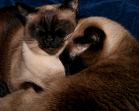 IMG_4410_Siamese_Cats